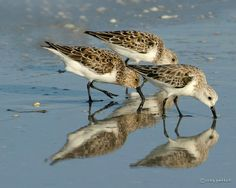 The Sanderling (Calidris alba, syn. Crocethia alba[2] or Erolia alba) is a small wader. It is a circumpolar Arctic breeder, and is a long-distance migrant, wintering south to South America, South Europe, Africa, and Australia