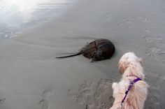 A Horseshoe Crab almost as big as Lila