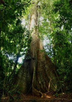 Big                                tree, Barro Colorado Island