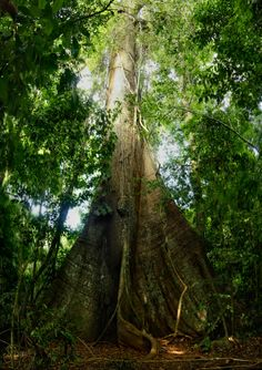 Big                                tree, Barro Colorado Island