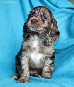 merle chocolate cocker spaniel...luv