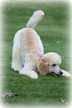 Hi everyone! What color is this poodle considered? Apricot or light red maybe?