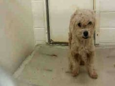 #A4769209 I'm an approximately 6 year old female poodle min. I am already spayed. I have been at the Carson Animal Care Center since October 22, 2014. I will be available on October 26, 2014. You can visit me at my temporary home at C245.  http://www.petharbor.com/pet.asp?uaid=LACO1.A4769209  Carson Shelter, Gardena, California 216 Victoria Street, Gardena, California 310.523.9566, M-TH 12pm - 7pm, F-SU - 10am - 5pm Sharon Boulanger Like