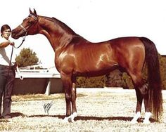 *Bask, pure polish stallion imported to U.S. in 1963 by Dr. Gene LaCroix of Lasma Arabians