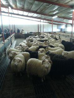 """Experience sheep shearing and get to know the wonderful Icelandic wool at Bjarteyjarsandur farm."""