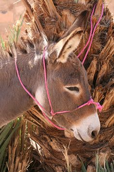 donkey <3 a donkey is a part of the Nativity because King David rode one into the city signifying his kingship. Joseph, of that lineage, brought his wife, Mary, carrying the son of God, Jesus, in her womb, to Jerusalem riding a donkey. Signifying his kingship.