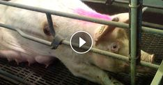 Life is pure hell for pigs who are mutilated by workers and crammed in tiny, filthy crates at The Maschhoffs, a Hormel pork supplier. Help stop this abuse by signing the petition. Take action at HormelHell.com!