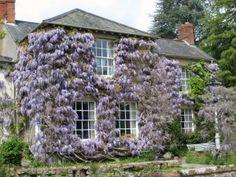 Wisteria Trellis, Wisteria Plant, Wire Trellis, Wisteria Garden, Flowers Garden, Porches, Climbing Flowers, Virginia Creeper, Cottage Homes