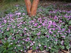 Clyclamen com.  Tiny winter flowers.  Ground hugging.  Disappear in summer, reemerge in Nov and bloom through Feb.