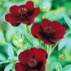 Schokoladenblume - 1 pflanze Bestellen Sie schnell und bequem online (Cosmos atrosanguineus- smells like chocolate)