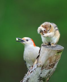 hungry red-bellied woodpecker, itchy chipmunk ;)