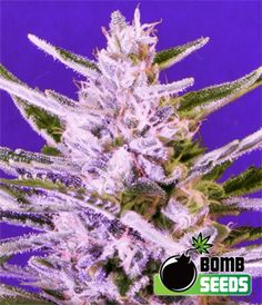 Ice Bomb Cannabis...THE WEED CANT GET NO BETTER!!!