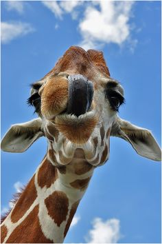 The giraffe Tongue! is an African even-toed ungulate mammal, the tallest living terrestrial animal and the largest ruminant. Its species name refers to its camel-like appearance and the patches of color on its fur. Its chief distinguishing characteristics are its extremely long neck and legs, its horn-like ossicones and its distinctive coat patterns. It stands 5–6 m (16–20 ft) tall and has an average weight of 1,600 kg (3,500 lb) for males and 830 kg (1,800 lb) for females.