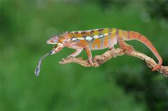 Colorful tongue out chameleon photography