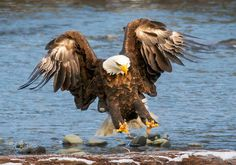 Bald Eagle coming in for a landing Bald Eagle, Landing, Bird, Pets, Amazing, Animals, Fotografia, Animals And Pets, Animales