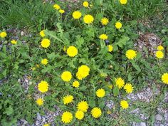 Whoo HOO it's Spring!I mean Dandelion Jelly! Dandelion Wine, Dandelion Jelly, Appalachian Recipes, Candied Lemon Peel, Food On Sticks, Candy Thermometer, Cherry Candy, Oranges And Lemons, Wine Recipes