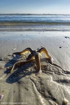 Ed-Siarkowicz-Photographic-Images~ starfish walking to ocean in flagler beach fl Underwater Creatures, Underwater Life, Ocean Creatures, All Gods Creatures, Alien Creatures, Under The Water, Beautiful Creatures, Animals Beautiful, Fauna Marina