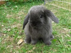 Babies for Sale - Yorkshire Mini Lops Leeds breeder of mini lop rabbits, Micro Lops, Rabbit Boarding.