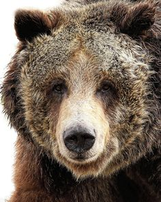 Close up of a grizzly bear. The grizzly bear is a large subspecies of brown bear inhabiting North America. Scientists generally do not use the name grizzly bear but call it the North American brown bear. Grizzly Bear Animal, Grizzly Bears, Grizzly Bear Tattoos, Bear Images, Bear Pictures, Spirit Bear, Spirit Animal, Wildlife Photography, Animal Photography