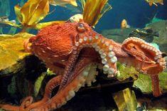 Руки-щупальцы, в количестве 8 штук, помогают моллюску передвигаться и хватать пищу. Между собой они соединены перепонками. На их внутренней поверхности находятся присоски, отвечающие за удержание добыч Sea Photography, Animal Photography, Deep Sea Creatures, Octopus Art, Saltwater Tank, Sea Monsters, Ocean Life, Fantastic Beasts, Marine Life