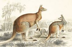 #Mammals : Kangaroo. This print is taken from the Dictionnaire Universel…