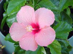 Les 100 meilleures images du tableau hibiscus sur Pinterest ...