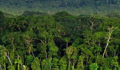 Canopy in the Amazon Rainforest