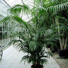 How to Grow magnificent Indoor Palm Trees Potting Growing and caring Potted Palm Trees, Indoor Palm Trees, Potted Palms, Indoor Palms, Palm Tree Plant, Indoor Plant Pots, Outdoor Plants, Palm Tree Care, Indoor Gardening Supplies