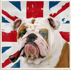 THIS IS FOR PUGS, BOSTON TERRIER'S, ETC! Breeding the English Bulldog to extremes in conformation has produced a very unhealthy breed. Patty Khuly discusses why she thinks something should be done about it. British Bulldog, French Bulldog, Bulldog Breeds, Bulldog Puppies, Old English, Dog Love, Best Dogs, Cute Puppies, Pet Birds