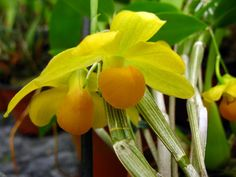 Dendrobium Chrysocrepis | Dendrobium chrysocrepis - Orchidées de Großräschen