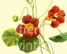 This print is taken from a #french book published in 1983. Pierre- Joseph Redoute (1759 - 1840) was a French painter and botanist known for his watercolors of flowers and fr... #botanical #botany #illustration #watercolor #nasturtium #art #flower #red #tropaeolum ➡️ http://jto.li/GxEfK