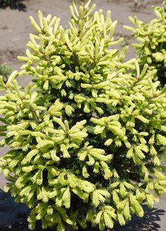Klehm's Song Sparrow Farm and Nursery--Woody Plants--Picea glauca 'Mac's Gold'
