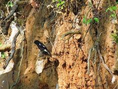 Pied bush chat (Saxicola caprata) - at Kaikatty, Nilgiris