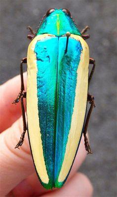 Chrysochroa limbata