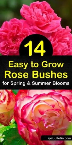 Discover how easy it is to grow low-maintenance knock out roses and climbing roses for colorful blooms throughout the entire growing season. Enjoy the fragrant scent of a disease-resistant hybrid tea or floribunda rose from spring through fall. Floribunda Roses, Shrub Roses, Growing Flowers, Planting Flowers, Flower Gardening, Fruit Garden, Vegetable Gardening, Container Gardening, Rose Varieties