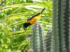 Een troepiaal op de cactus in onze tuin. Happy Turtle Apartments Curacao Happy Turtle, Cactus, Caribbean, Bird, Animals, Animales, Animaux, Birds, Animal