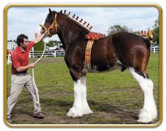 Clydesdale - stallion Freedom Royal Majestic