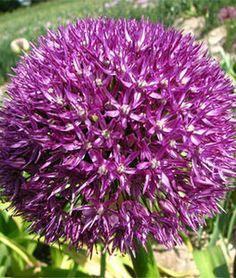 Allium, Pinball Wizard,
