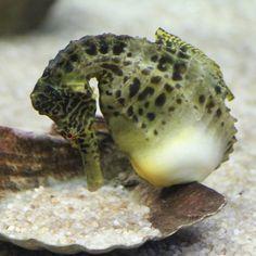 Почему этот самец морского конька такой толстый? вынашивает потомство! Морские коньки размножаются иначе, чем другие животные. Потомство в своей сумке вынашивает самец, после того, как самка передает ему свои икринки.