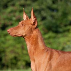 # The 10 Most Expensive Dog Breeds- Pharaoh Hound - Big Dogs, Large Dogs, Most Expensive Dog, Pharaoh Hound, Purebred Dogs, Dobermans, Cute Dogs Breeds, Lab Puppies, Hound Dog