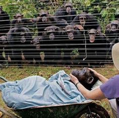 When this female named Dorothy died of heart failure, all the chimpanzee family came out of the forest to say good bye..... the most stunning reaction was a recurring, almost tangible silence, reported staff at Cameroon's Sanaga-Yong Chimpanzee Rescue Centre. If you know chimpanzees, then you know that they are not usually silent beings. I think it's beautiful how many of the chimps are touching each others' shoulders. Respect for a fallen comrade
