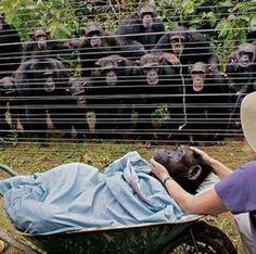 Cuando la chimpancé Dorothy murió de una insuficiencia cardíaca, toda la familia de chimpancés vinieron del bosque para despedirla.... La reacción más impresionante que informo el personal del Centro de rescate de chimpancé Sanaga-Yong de Camerún, fue un absoluto y evidente silencio. Si conoces a los chimpancés, debes saber que usualmente no son seres silenciosos. Es realmente hermosa la imagen mostrando a los chimpancés tocándose los hombros entre ellos despidiendo a su amiga #animales