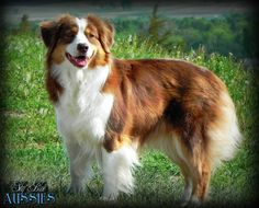 Sky Blue Ranch Faith - Red Tri Australian Shepherd