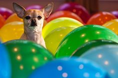 Chihuahuas and balloons - somehow this doesn't seem like the best idea.