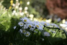 Spring Daises.. by Adam Swaine on Flickr.