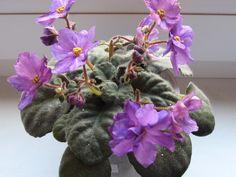 БО-Азбука Морзе(сеянец,стандарт).Розетка цветёт.Фото моё.