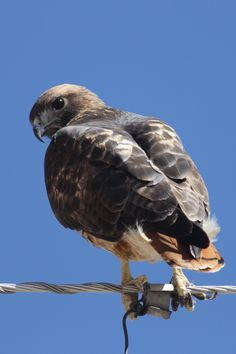 Cooper's Hawk (Juvenile) - Backyard | Birds of Southern ...