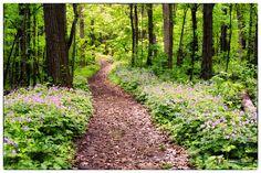Floral Path. Wild Geraniums at Devil's Lake State Park
