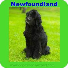 The Newfoundland Dog Breed Information: Everything you need to know including history, grooming, training, health care and more. Calm Dog Breeds, Newfoundland Puppies, Best Dogs, Animals, Animales, Animaux, Animal, Animais