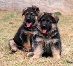 German Shepherd Breeders, German Shepherds, Schaefer, Instagram Bio, Dog Cat, Dogs, Animals, Image, Friends